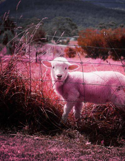 lamb-451982
