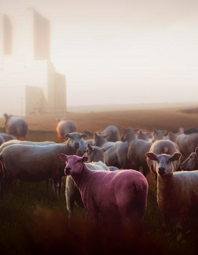 sheep-2499027_1